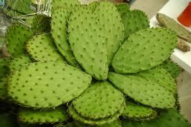 Nopal - cactusul din care este creat Nopalin
